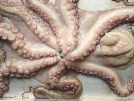 oktopus-ganz